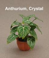 Anthurium Crystal
