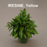 Yellow Iresine