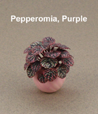 Pepperomia purple