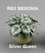 Begonia, Silver Queen
