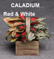 Caladium Red & White