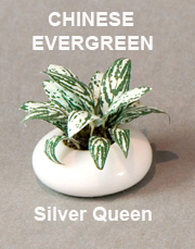 Chinese Silver Queen