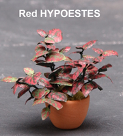 Hypoestes Red