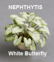 Nephthytis White Butterfly