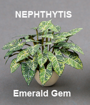 Nephthytis Emerald Green