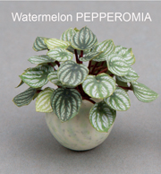 Pepperomia Watermelon
